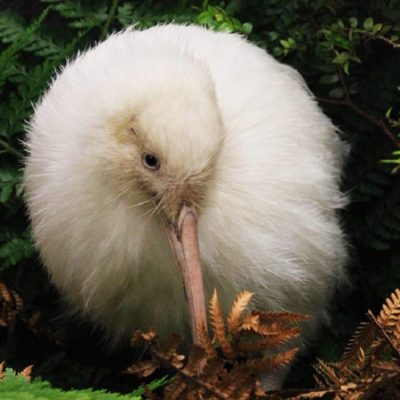 Cover of Manukura: The White Kiwi